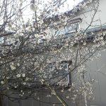 梅も開花~♪
