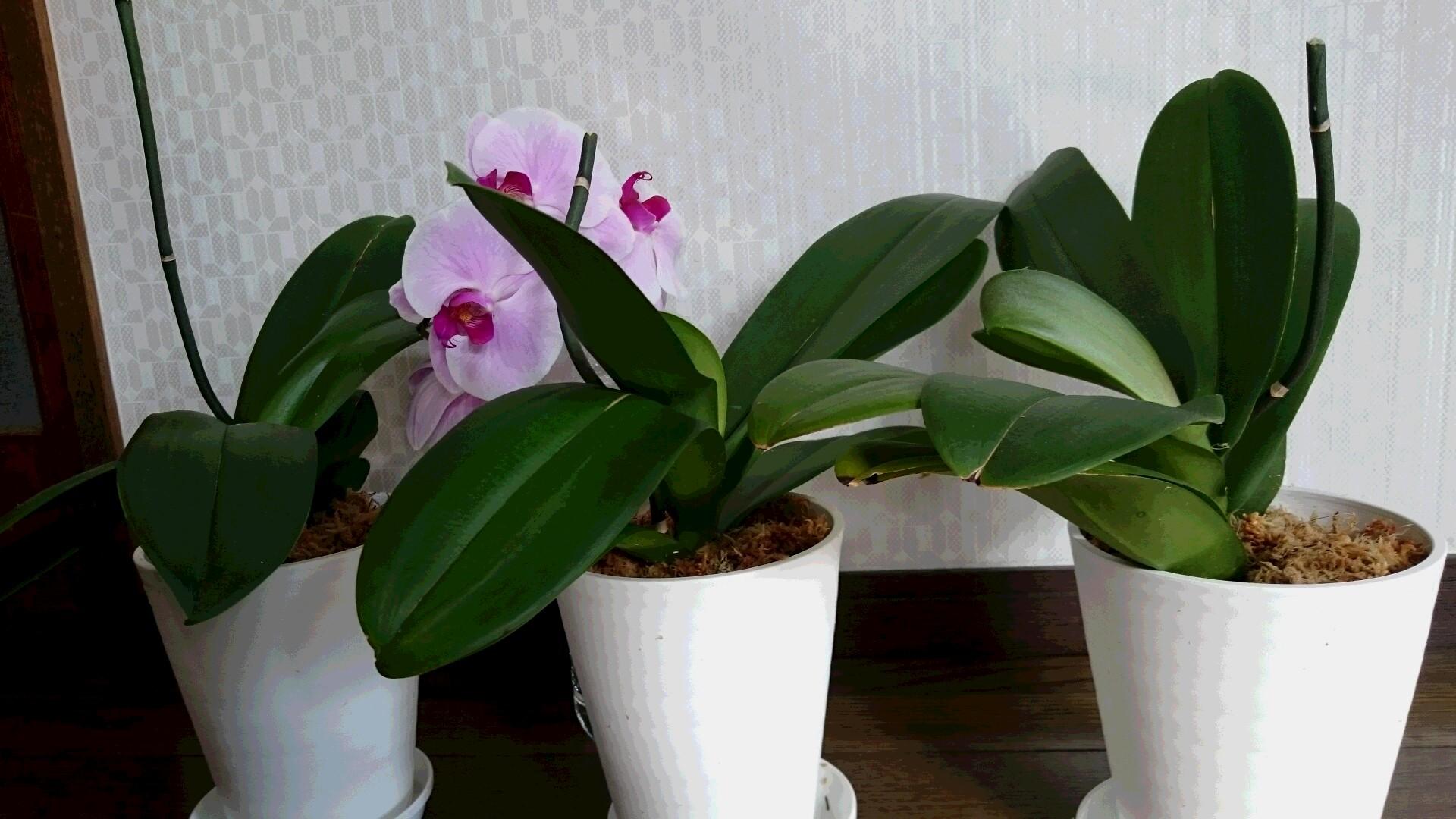 胡蝶蘭の植替え