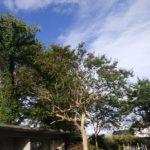 大きな樹木とお祓い