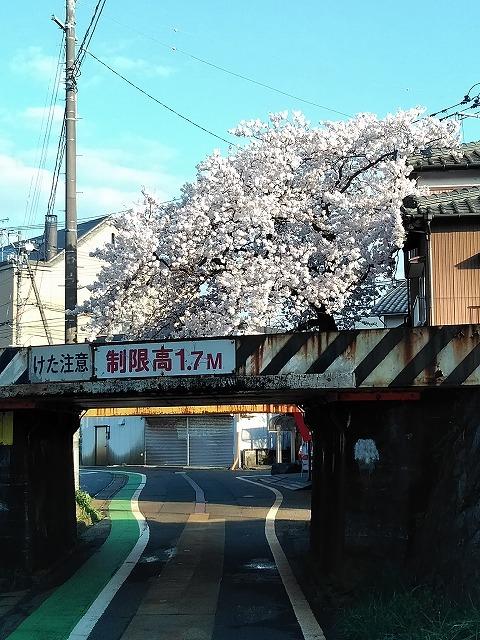 秋葉区桜①