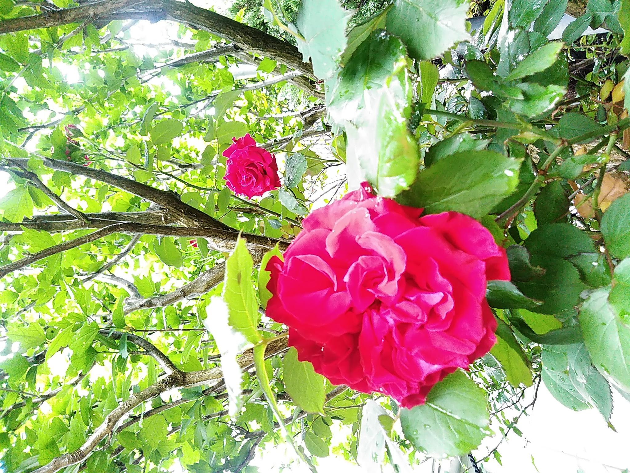 『 薔薇・バラ・ばら‼ 』