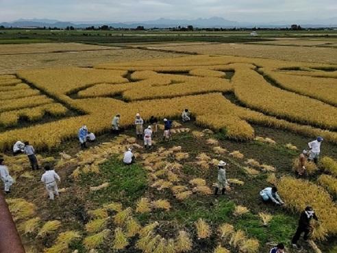 田んぼアートの稲刈り☀