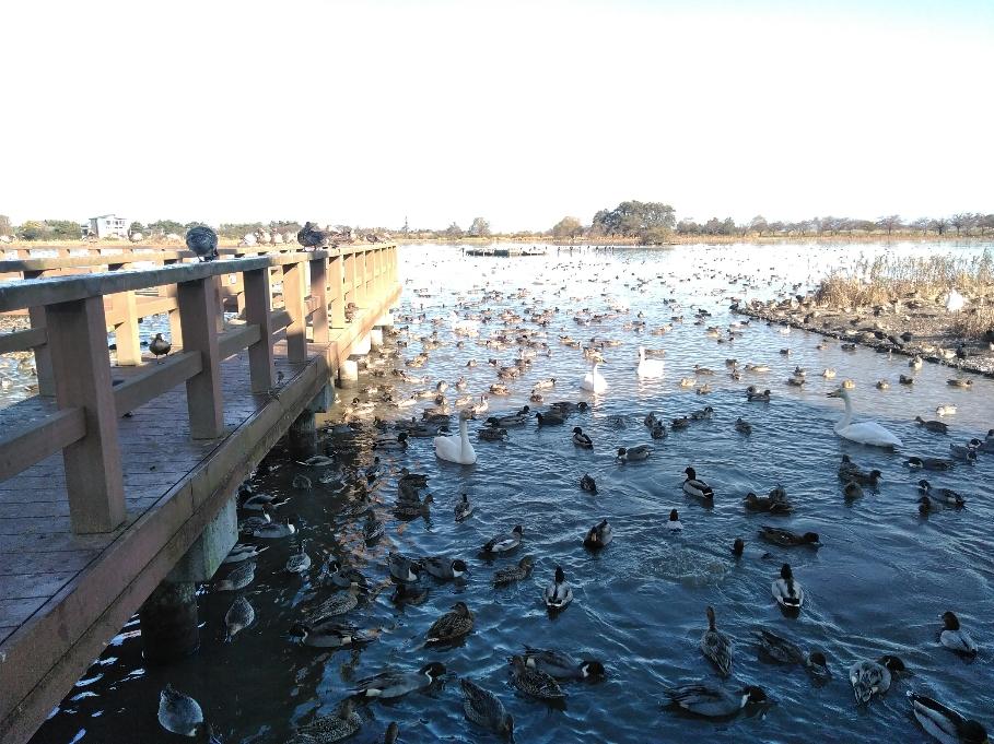白鳥を見に来たのにカモばっかり、有名な瓢湖で・・・・