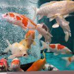 新潟県の鑑賞魚 錦鯉