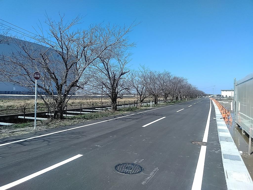 現場横の桜並木(つぼみ発見)
