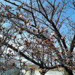 3月に桜が開花!!