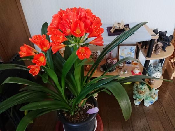 春の花・・・君子蘭