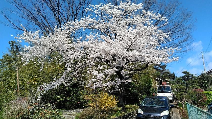 米蔵プロジェクト 番外編2 ~桜吹雪~