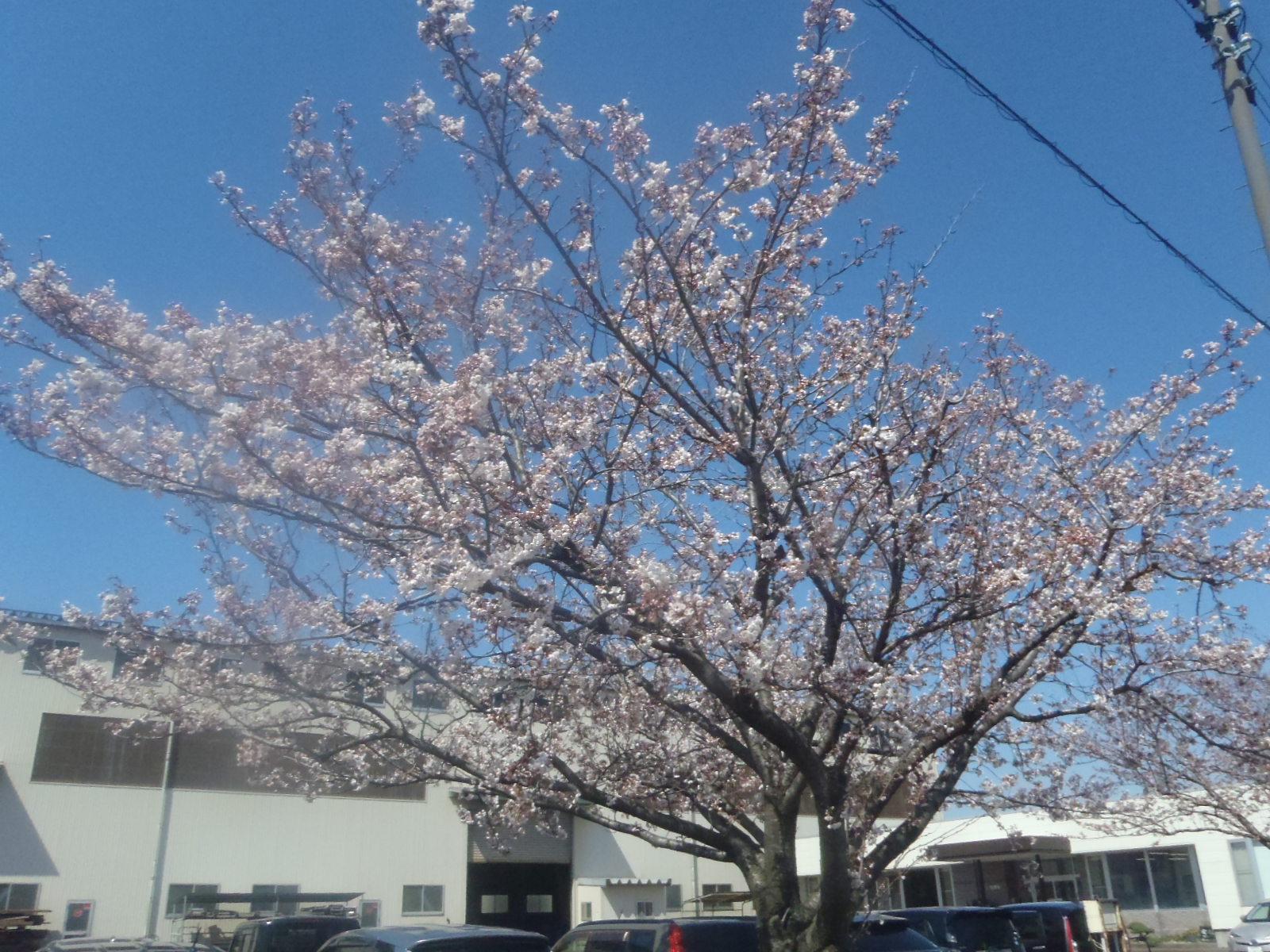 「桜がさきました。」