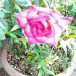 「薔薇-2」
