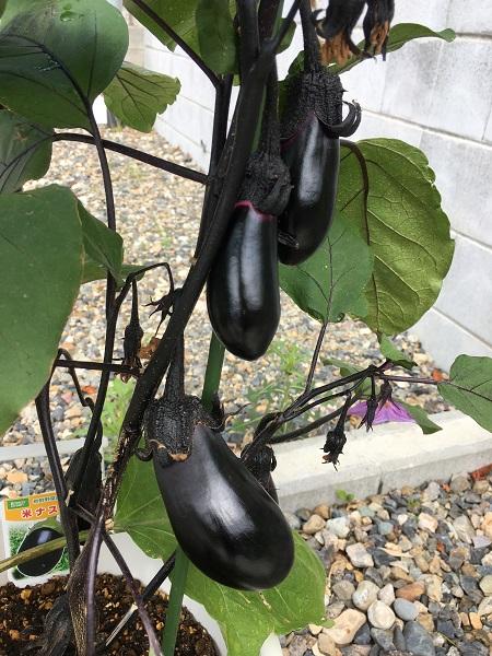 家庭菜園を始めて1カ月…