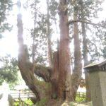 屋久島の屋久杉も有名ですが、新潟県にも将軍杉が・・・・・